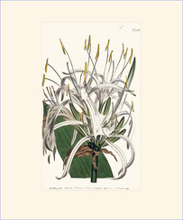 West-Indian Pancratium