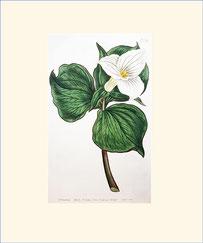 Funnel-flowered Trillium