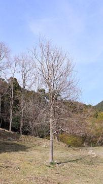 枯れた一本の木の写真フリー素材 Withered Tree Photo Free Material