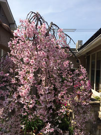 2階の庭にある枝垂れ桜が満開です。