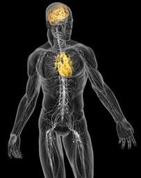 Cerebro del corazón para desplegar el potencial inherente del ser humano.