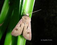Ausrufungszeichen (Agrotis exclamationis), Falter, Schmetterling, Tierportraits, tierspuren.at