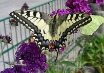 Schwalbenschwanz (Papillio machaon), Schmetterling, Tagfalter, Ritterfalter, Papillionidae, Tierportraits, tierspuren.at