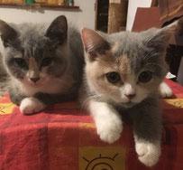 immagine cuccioli gattini brittish shorthair