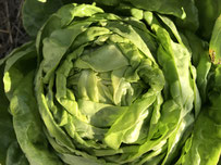Grüner Salat Zulu