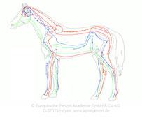 Hauptmeridiane bei Pferden