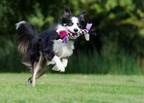 Un chien border noir et blanc courre avec un jouet dans la gueule par coach canin 16 éducateur canin charente
