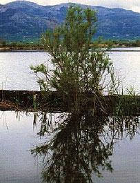 El tamarit es un arbol que crece en la marjal de Pego y Oliva en la Comunidad Valenciana.