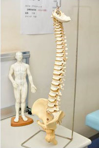 身体の柱は骨盤から頭蓋骨