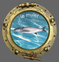 Le club de pêche en mer smpp 66470 pêche aussi le mulet.