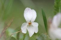 März-Veilchen (Viola odorata) - Foto: Bernd Hannover