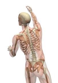 Durch das Lösen verklebter Faszien erhöht sich die Beweglichkeit des Bewegungsapparates