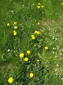 Gewöhnlicher Löwenzahn (Taraxacom) neben Gänseblümchen im Frühjahr