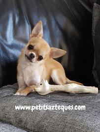 Chihuahua petit gabarit