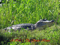 Alligator sunning on the bank