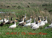 Snow Geese in our Wetlands