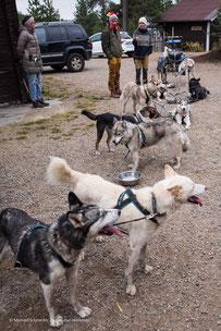 Huskies vor dem Schlitten auf der Huskyfarm Nomadic Naali