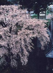 写ッセ さくら部門賞 No.40541 日朝寺の桜 茂田井 哲也(上越市)