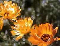Viele Ringelblumenarten mit gelben oder orangefarbenen Blüten, darunter die Gemeine Ringelblume, verschönern Gärten gemäßigter Breiten.