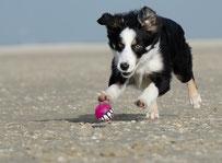 un chiot border collie noir et blanc joue avec une balle sur la plage par coach canin 16 éducateur canin en charente