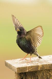 Star Vogel des Jahres 2018 LBV Balz balzend Pose Männchen