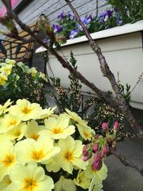 佐倉市かぶらぎ整骨院 桜、花写真