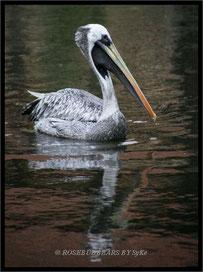 Brauner Pelikan oder Meerespelikan