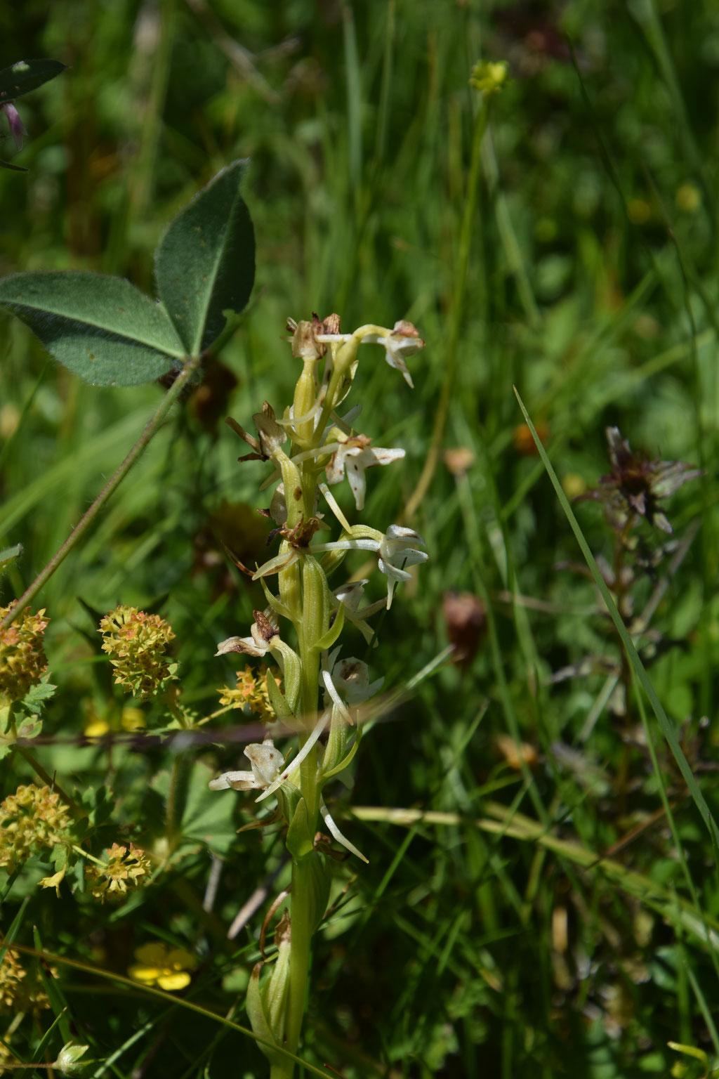 Plantathera bifolia - Welriekende nachtorchis