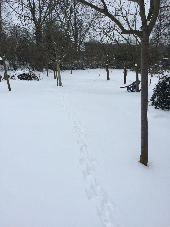 Spuren im Schnee: ?ein Hase und ein Fuchs hinterher?