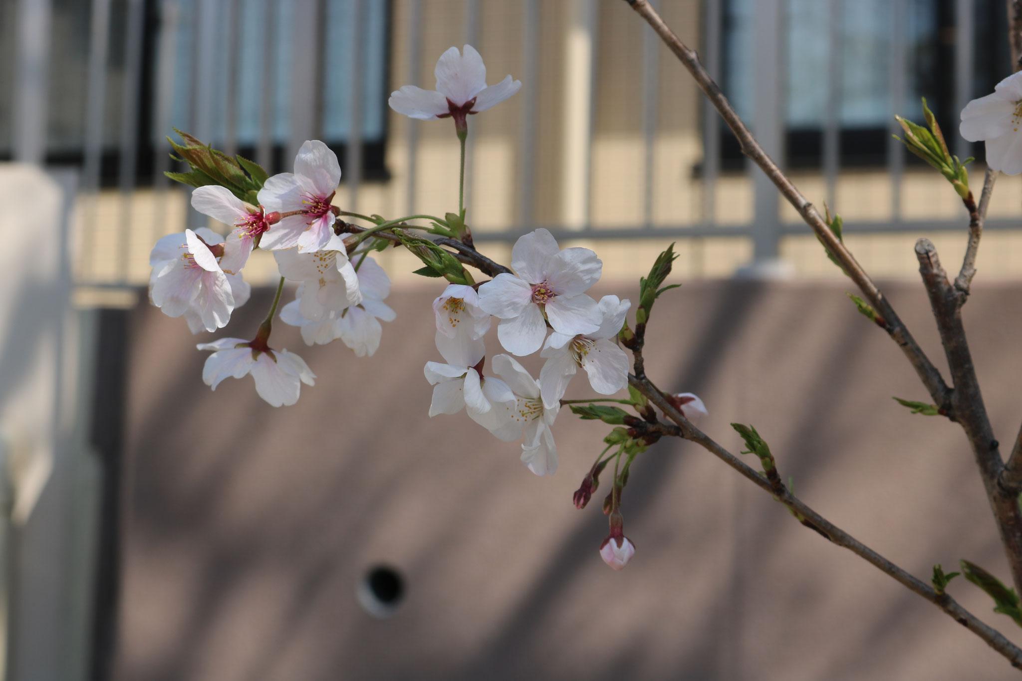 庭園のソメイヨシノ