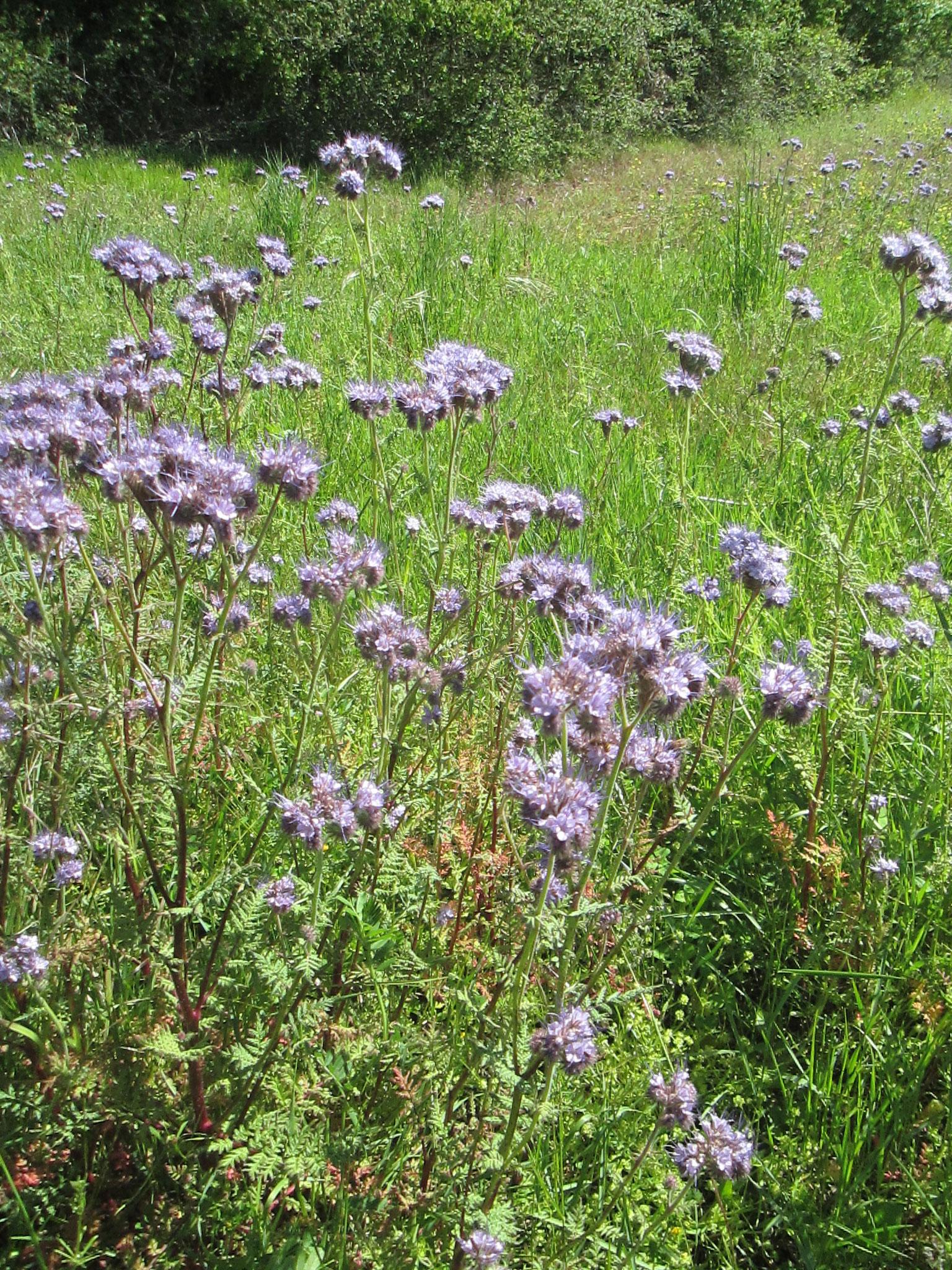 Fleurs de Phacélies, plante mellifère et engrais vert.