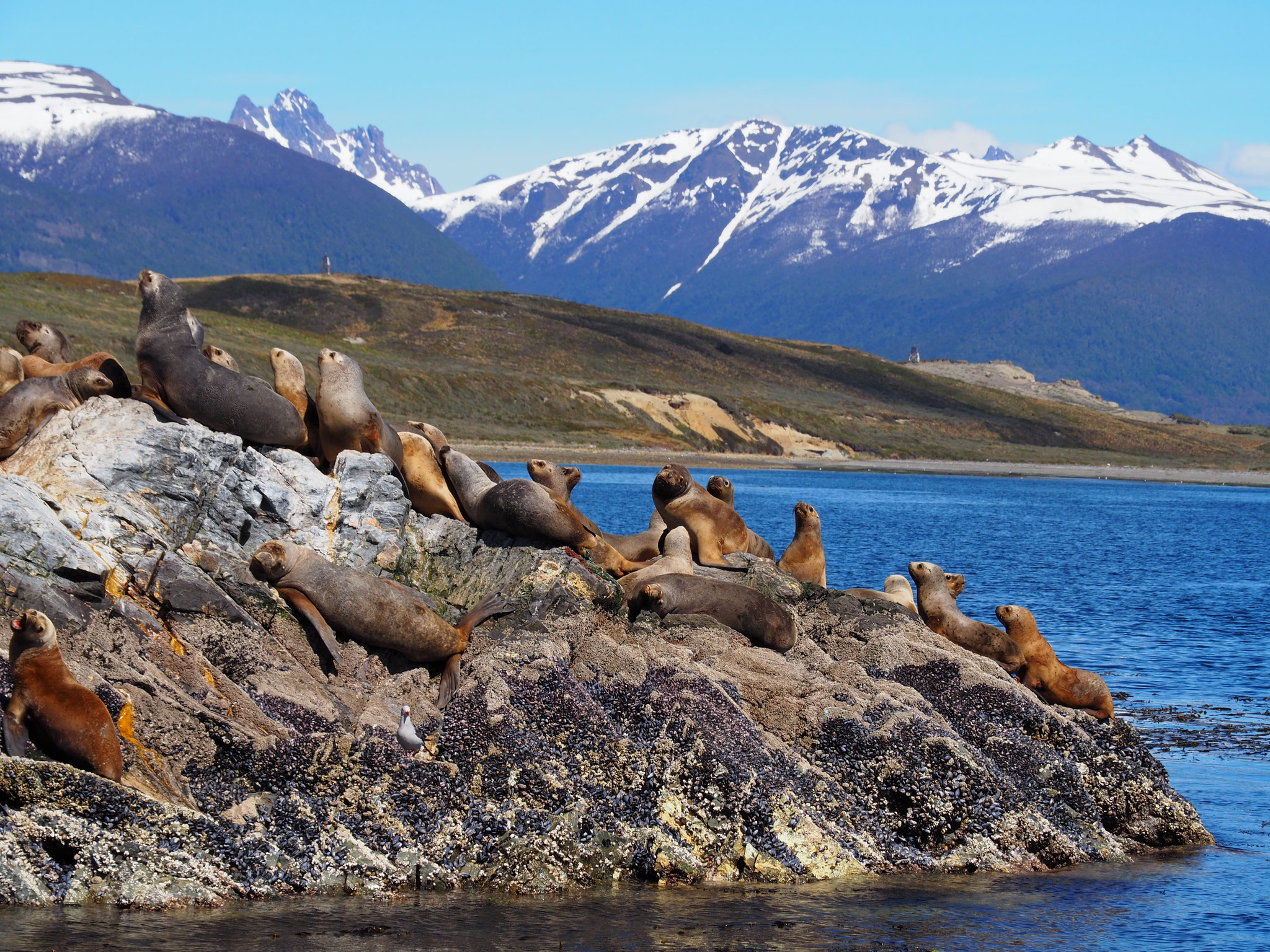 Die Seeöwen am Beagle Channel