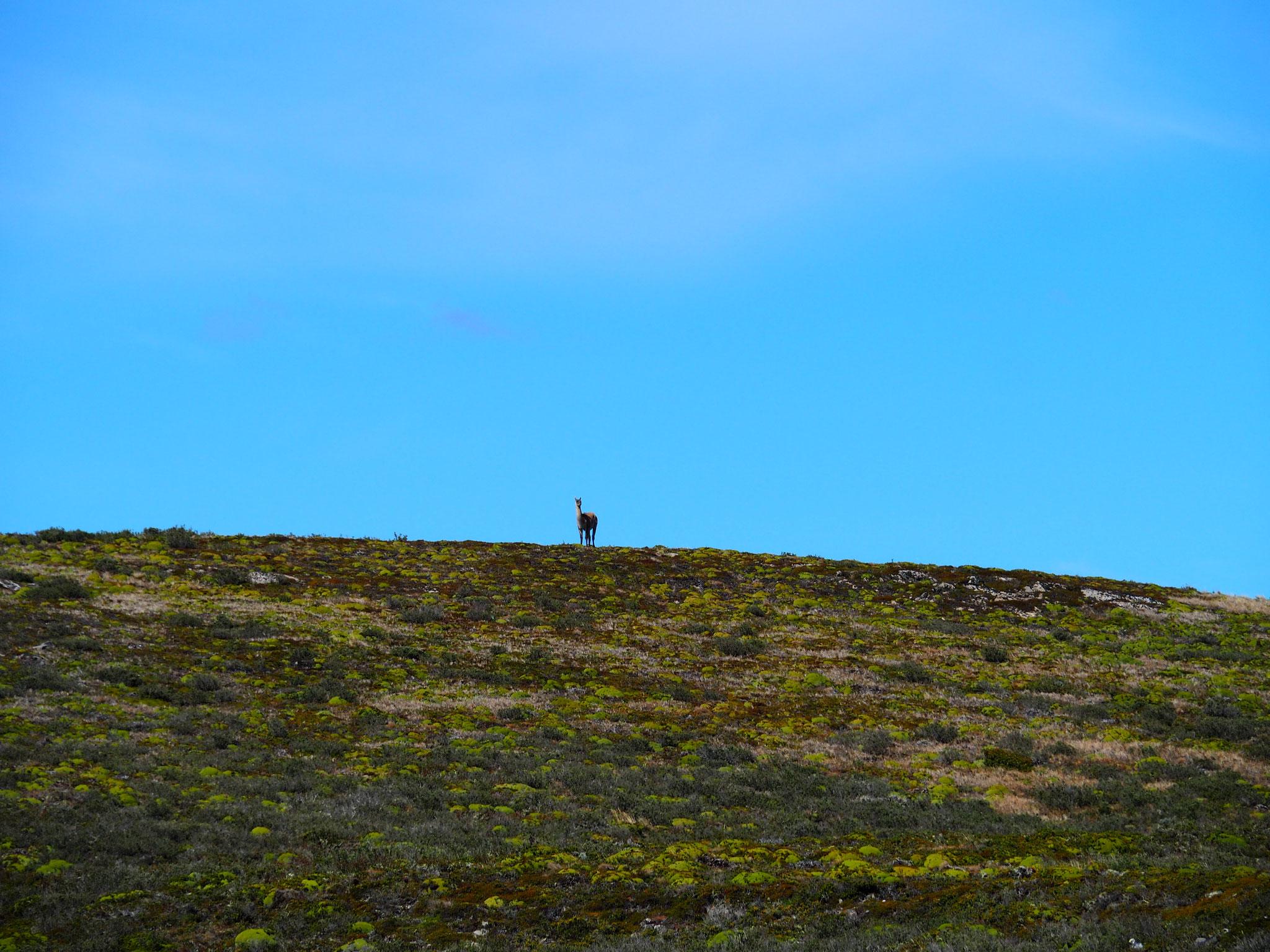 Ein einsames Guanaco auf einer Insel im Beagle Channel