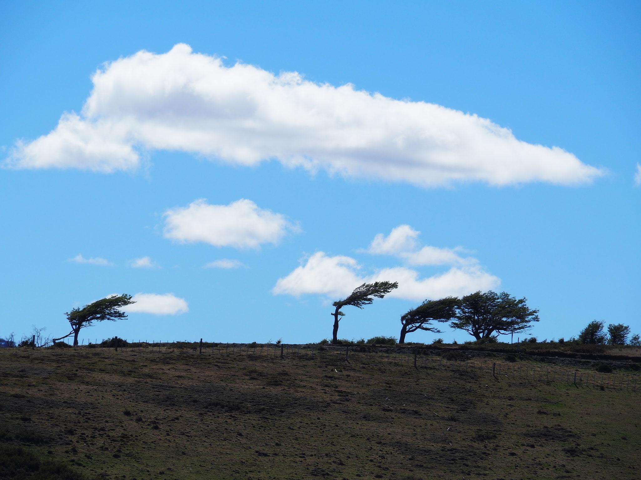 Dieser Baum macht deutlich, wie der Wind weht