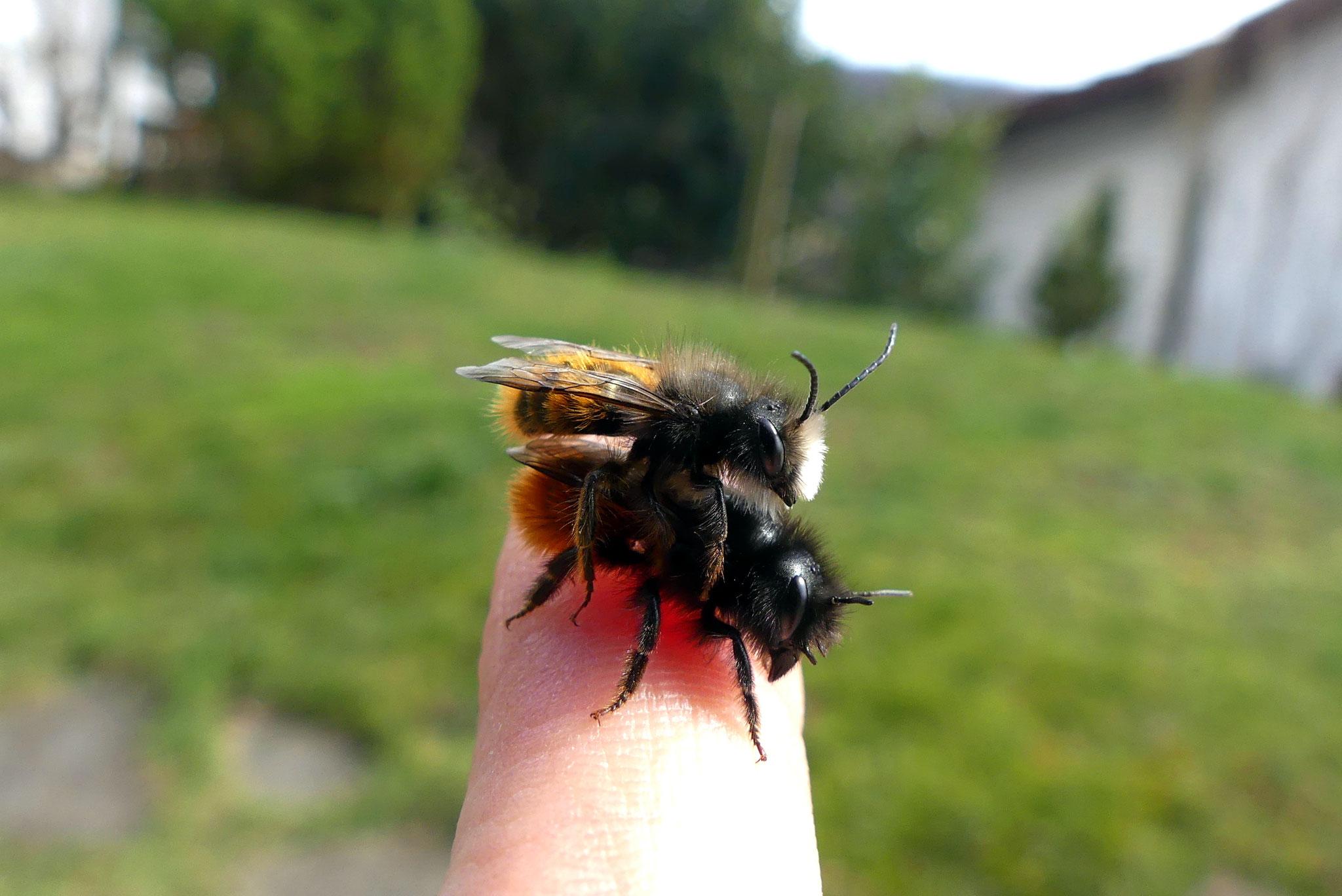 Paarung der Gehörnten Mauerbiene (Osmia cornuta)