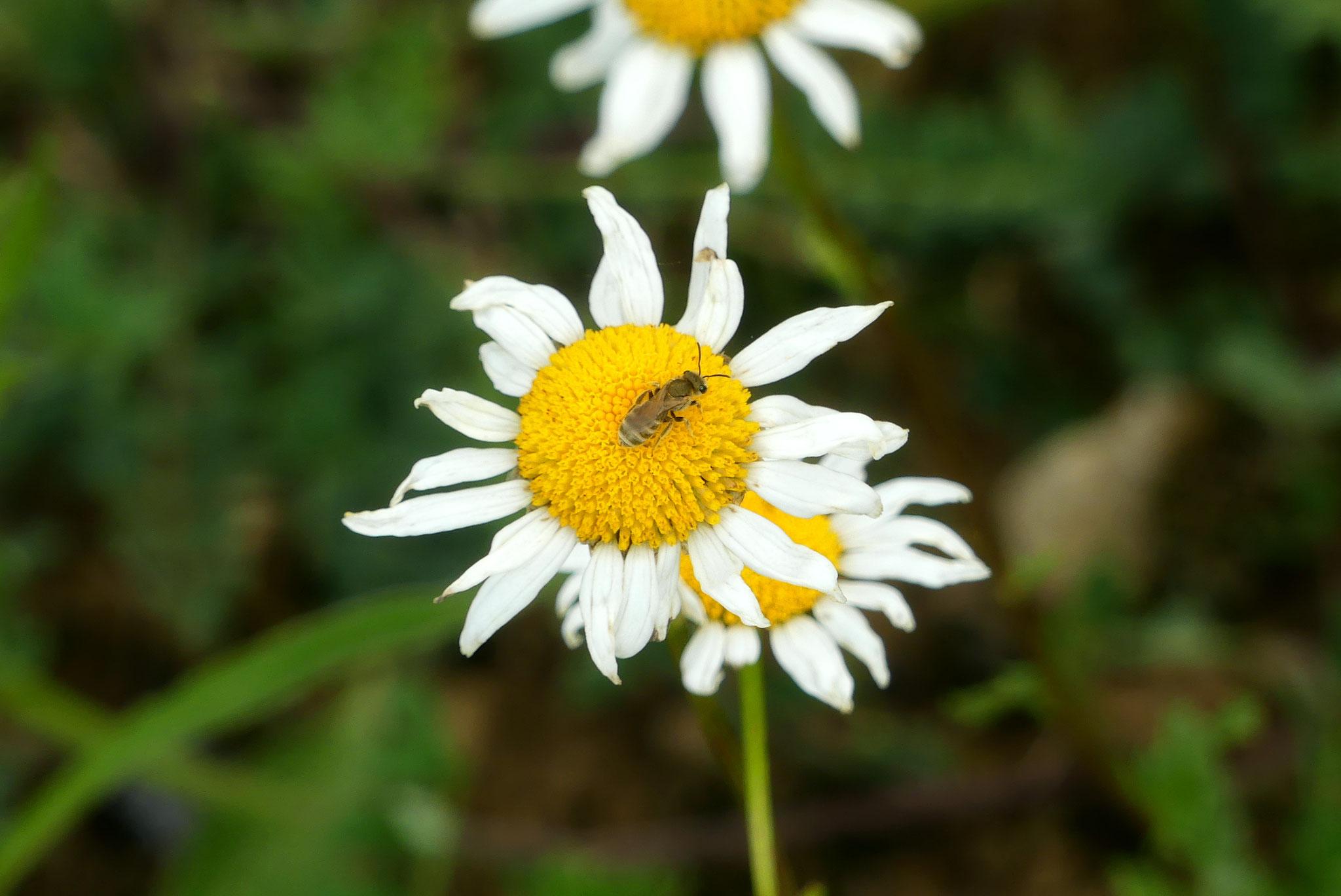 Weibliche Goldglänzende Furchenbiene (Halictus subauratus)