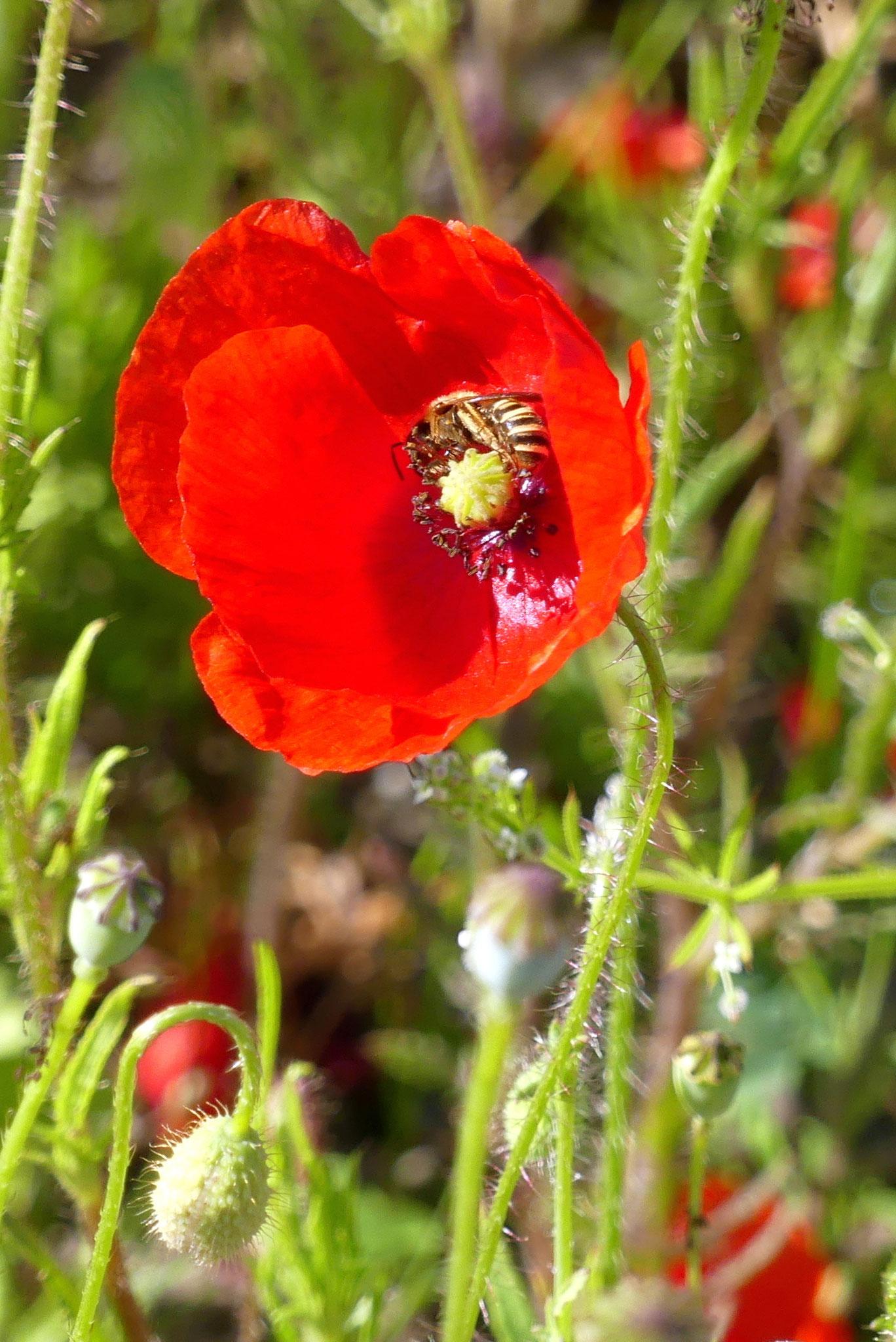 Weibchen einer Gelbbindige Furchenbiene in Mohnblüte