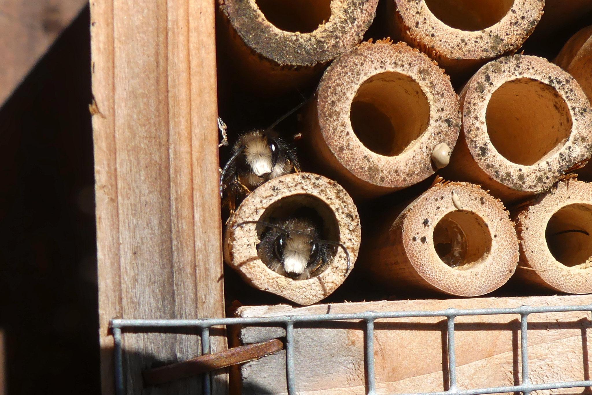 Männliche Gehörnte Mauerbienen (Osmia cornuta)