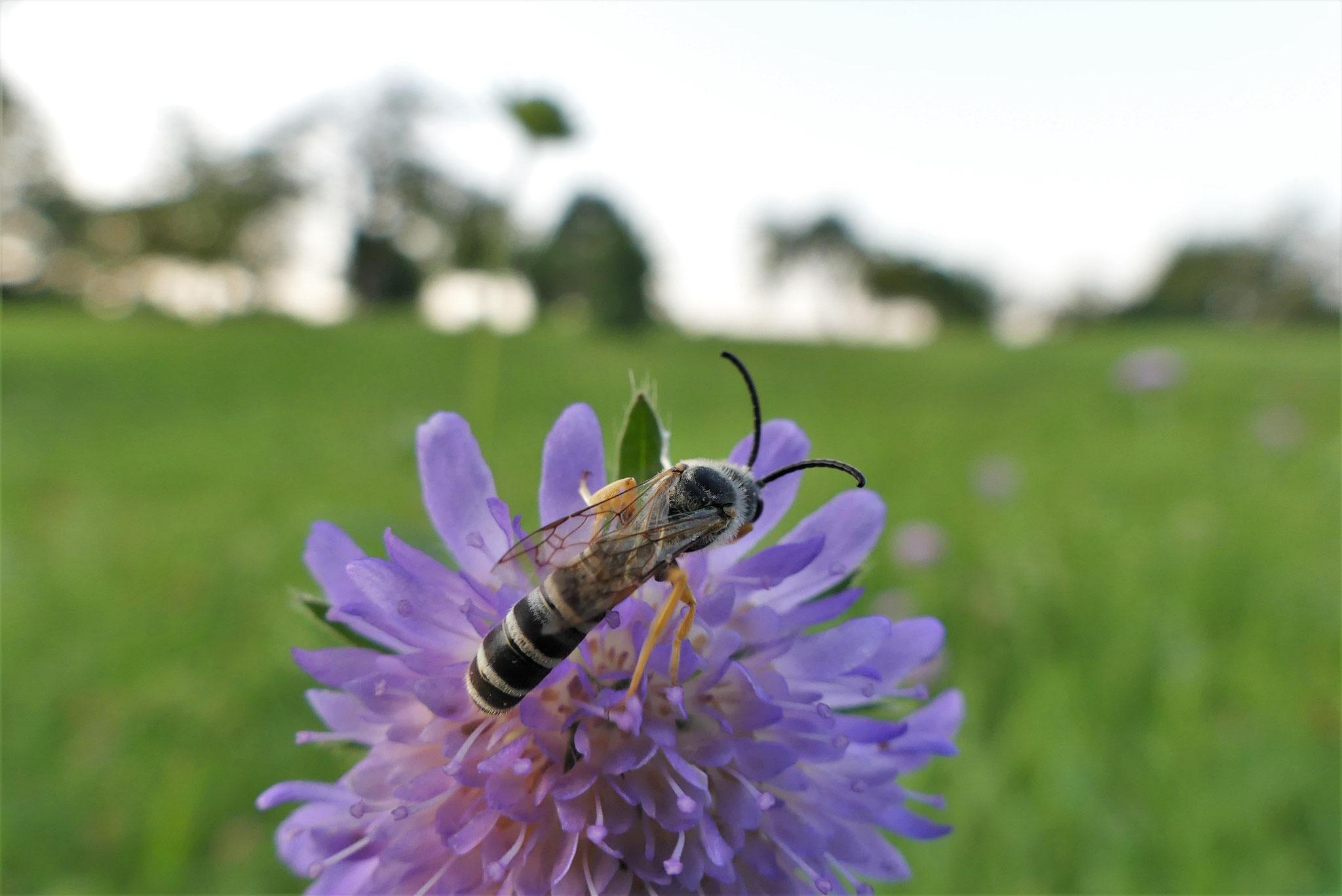 Männliche Gelbbindige Furchenbiene (Halictus scabiosae)
