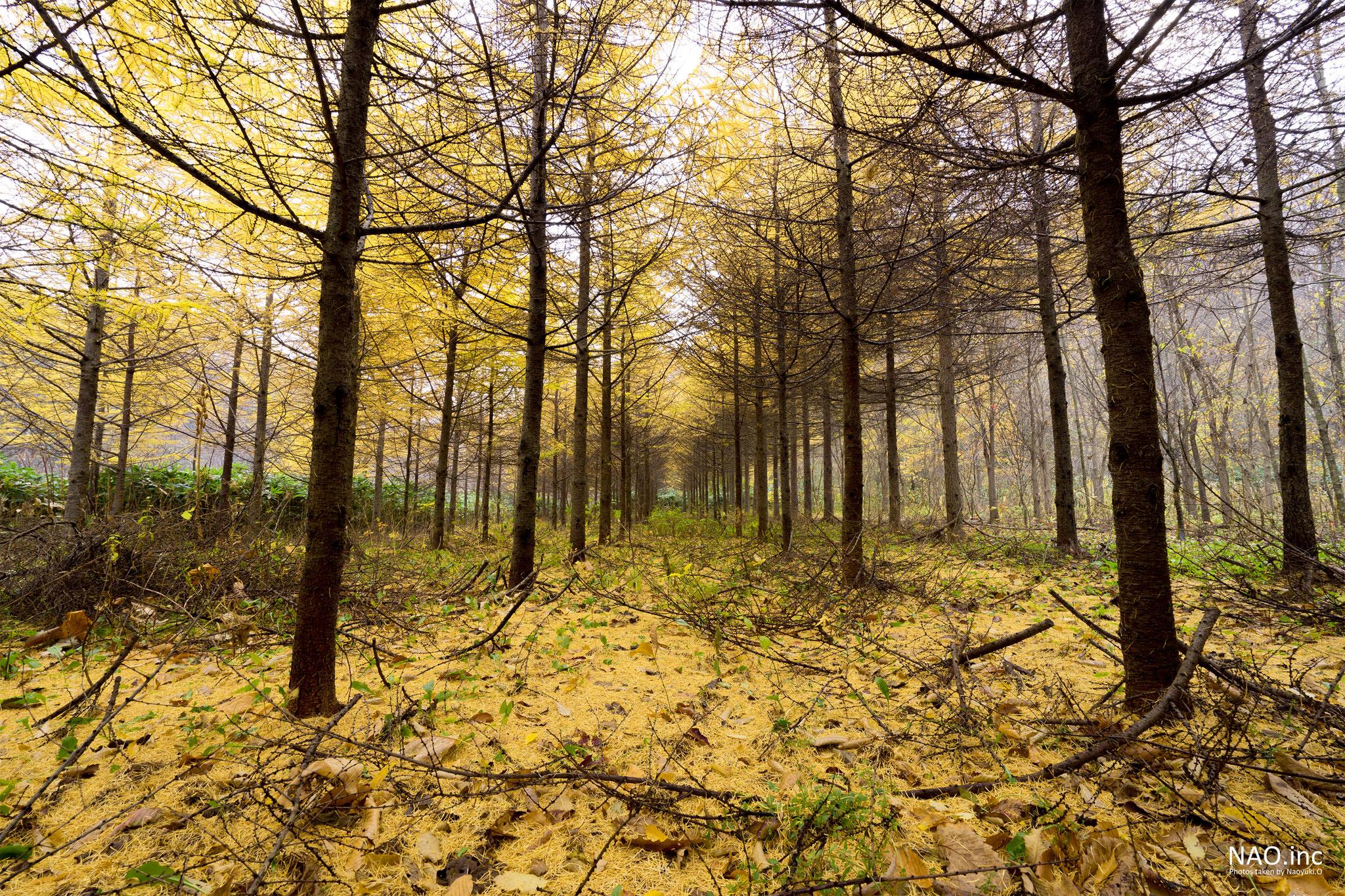 若いカラマツ林の紅葉。黄色の絨毯が美しい。