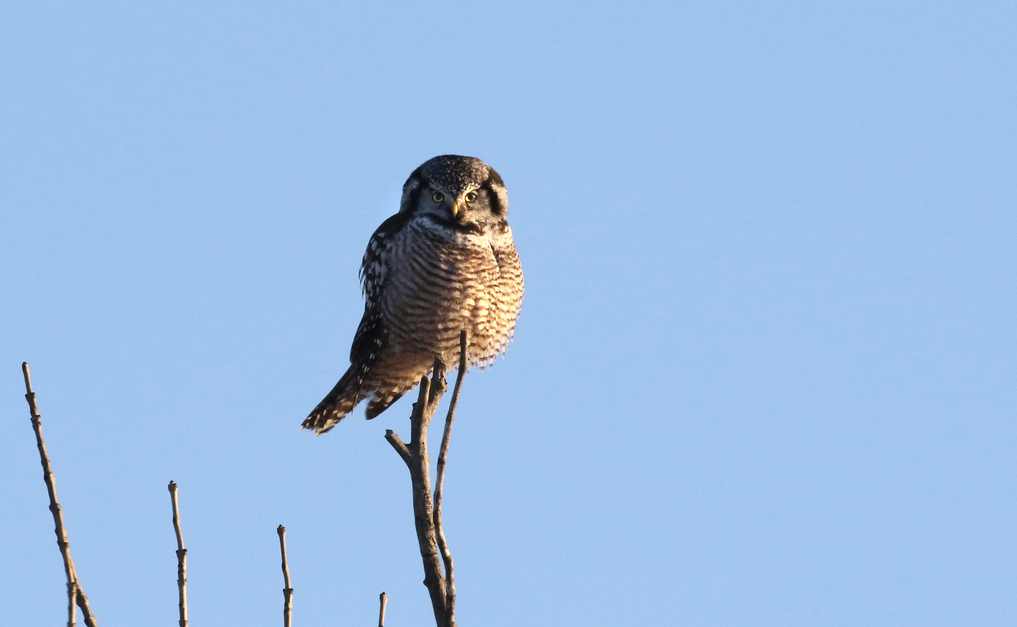 Northern Hawk Owl