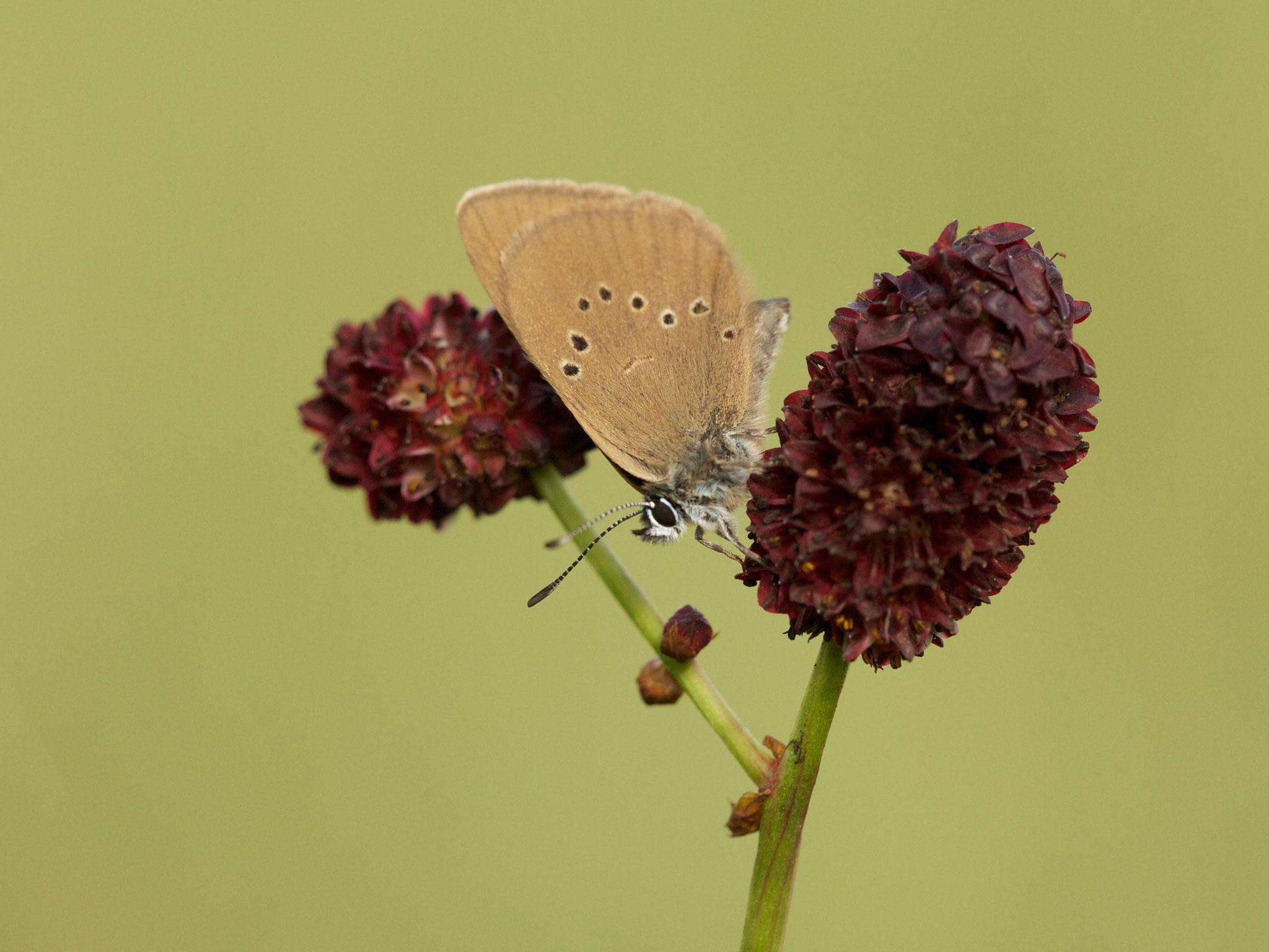 Dunkler Wiesenknopf-Ameisenbläuling auf Blüte des Großen Wiesenknopf (Sanguisorba major) - Foto: NABU/C. Kasulke