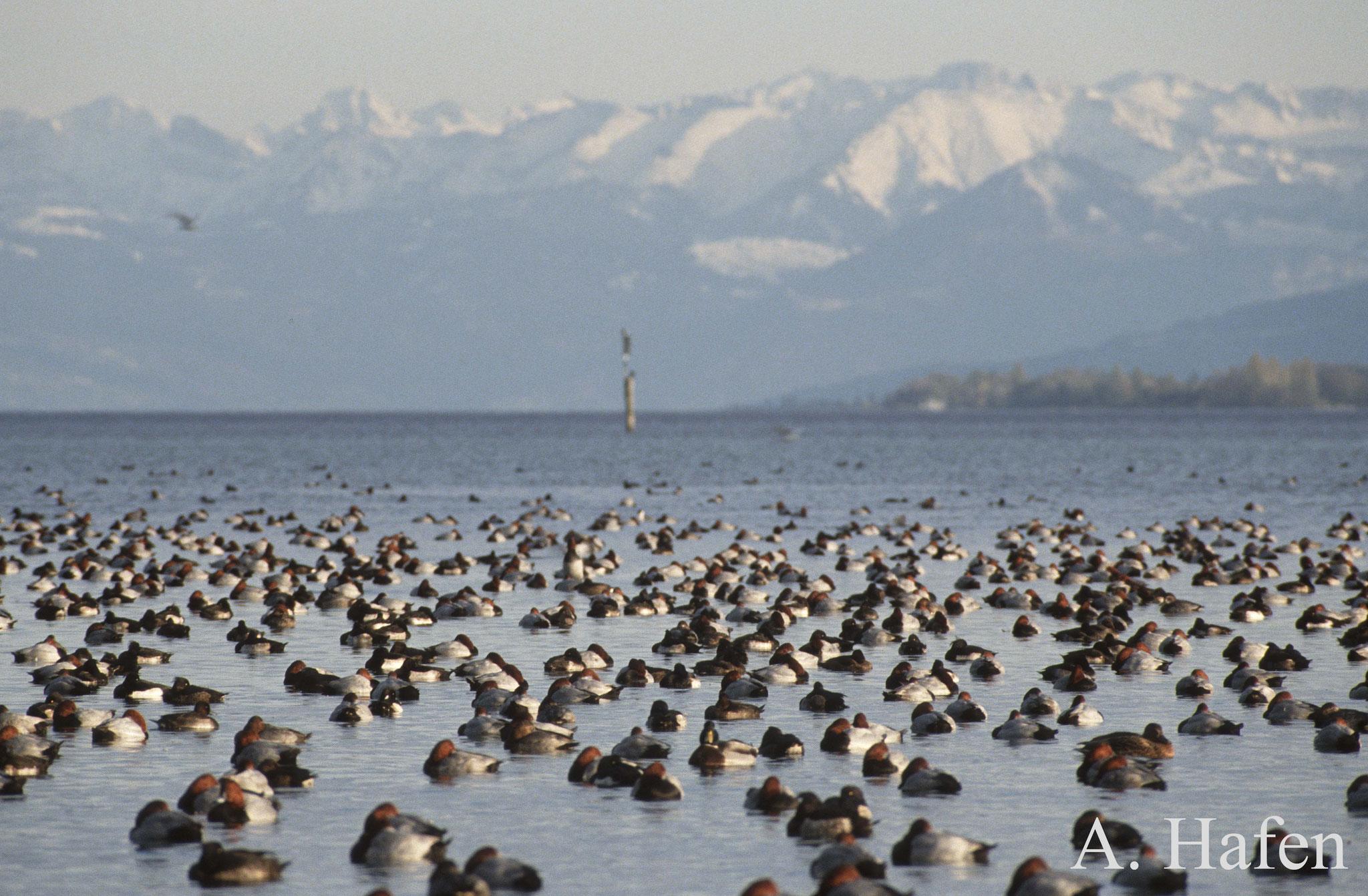 Gefiederte Wintergäste (Tafel- und Reiherenten) vor der Bergkulisse im Konstanzer Trichter - Foto: NABU/A. Hafen