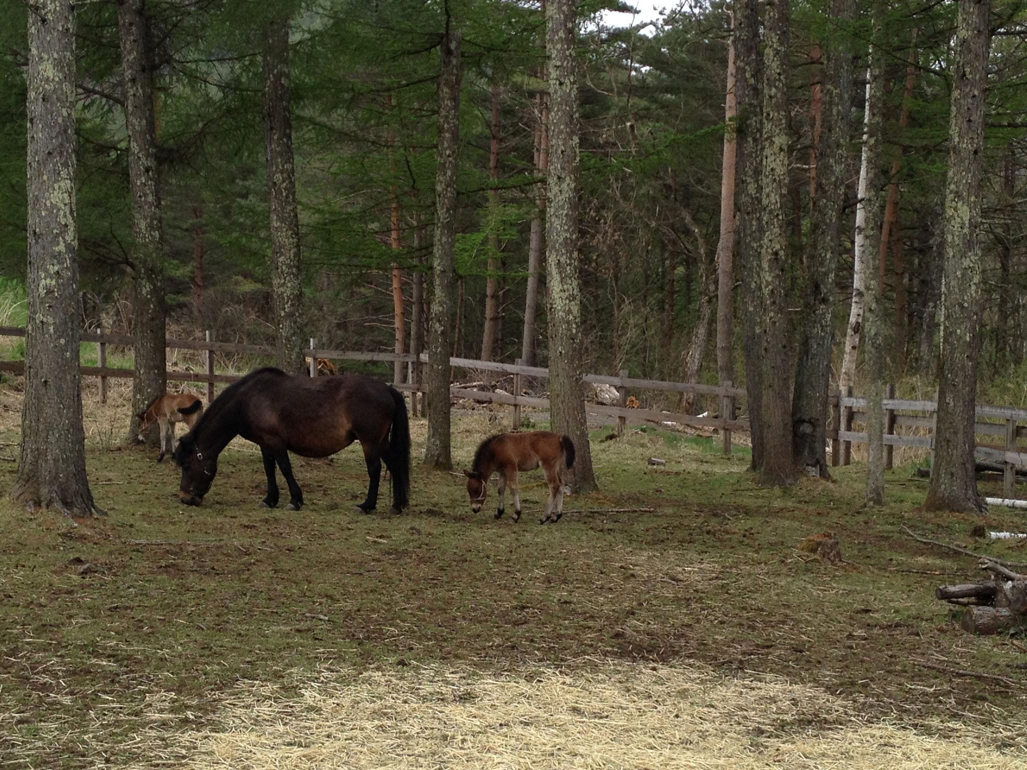 『木曽馬の里』ではこの春生まれたという仔馬に会えました。