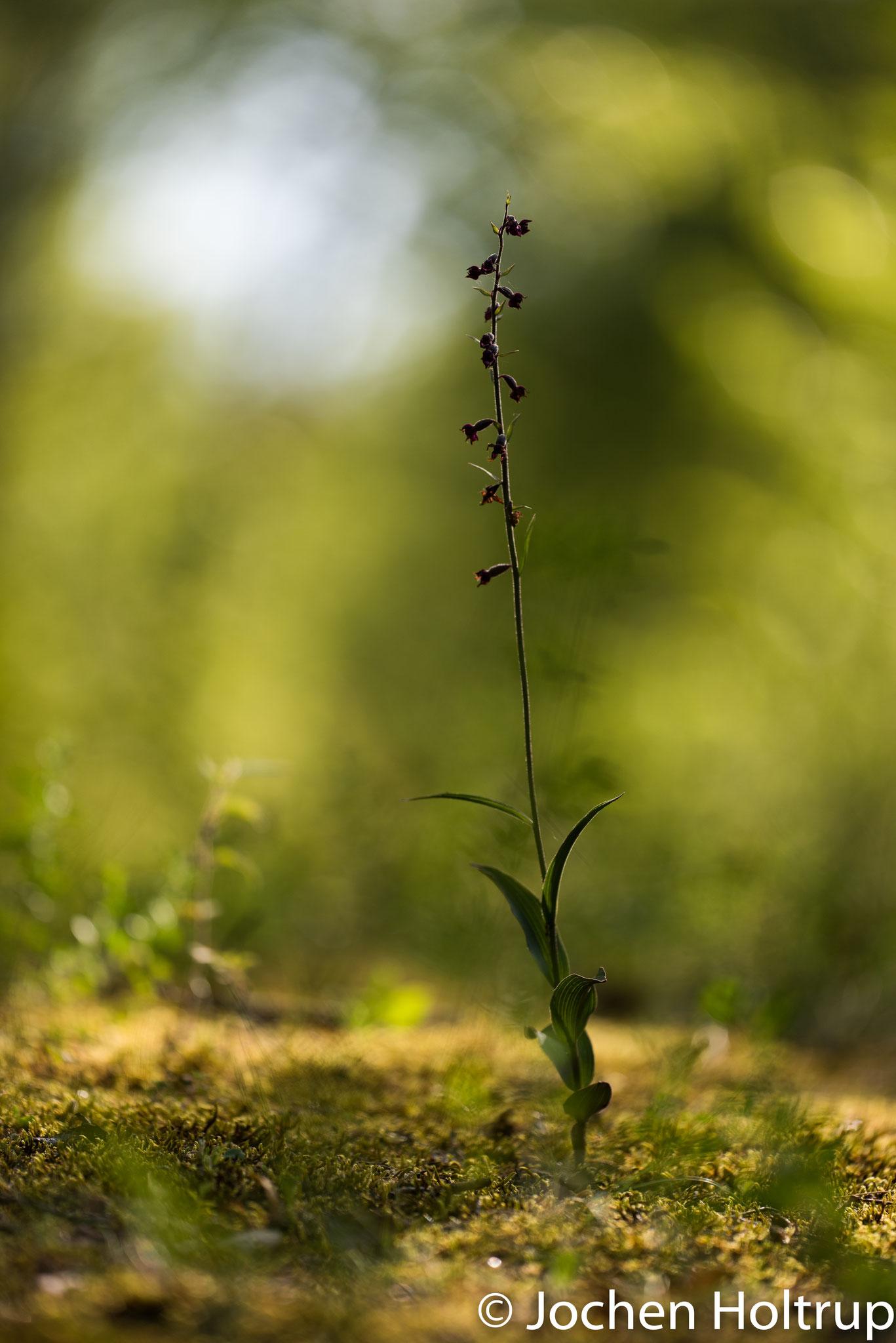 Orchidee (Rotbrauner Stendelwurz)