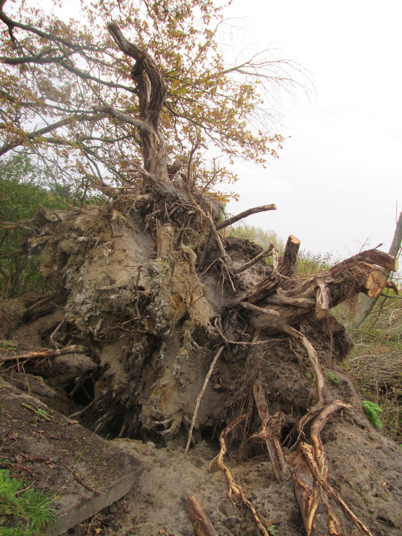 Ein riesiger entwurzelter Baum blockiert den Weg. Dahinter steht ein kleines Auto. Auf der Kühlerhaube drei biertrinkende Männer