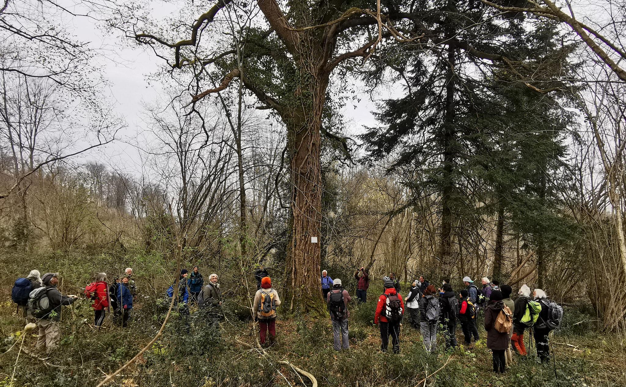 Rond symbolique de la défense des arbres remarquables labellisés par le Président de ARBRES George Féterman Un rescapé des tronçonneuses.
