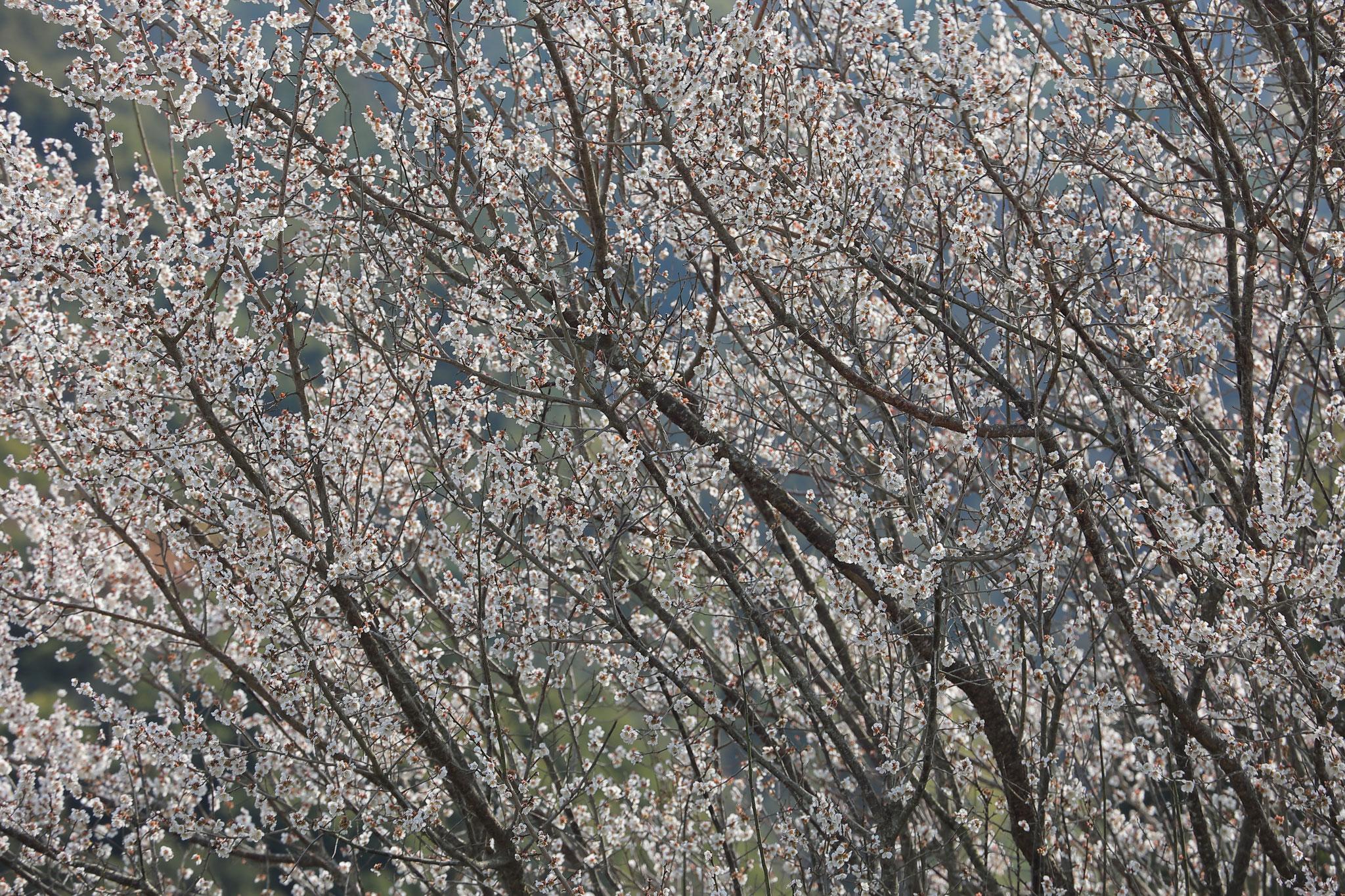 美しき無数の梅の花(2/7 肝付町)