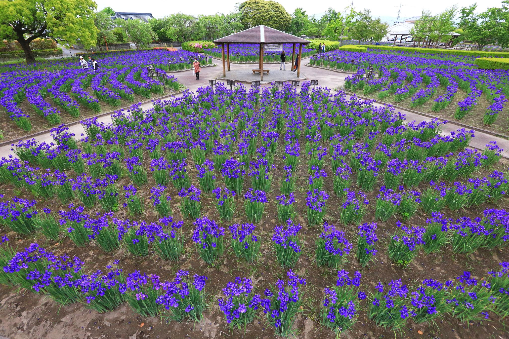 濃い紫色が鮮やかなアヤメ(5/3都城市早水公園)