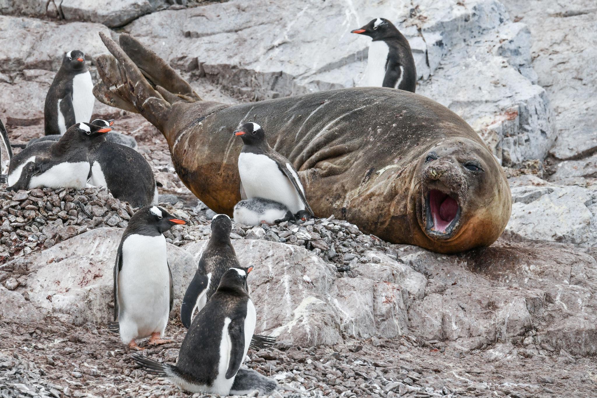 ジェンツーペンギンに囲われるゾウアザラシ